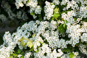 hawthorn hedge in full blossom, blossom, hedge, hedging, hawthorn, Teesside, Stockton, Green Onion Landscaping, Hedging ideas,