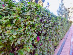 hedges, garden hedge ideas, hedging, colourful hedging plants, bare root hedges, evergreen hedges, Stockton, darlington, Middlesbrough, Teesside, Green Onion Landscaping, Wynyard, Yarm, landscapers, landscaping