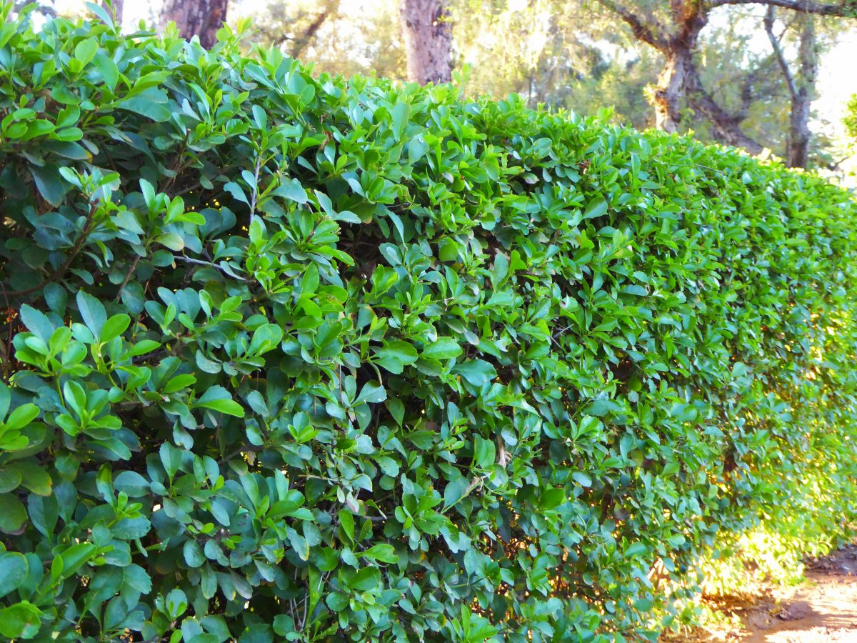 Garden hedging ideas stockton middlesbrough darlington for Garden hedge designs