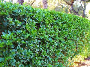 hedge, hedging,garden hedge, privet, privet hedging, bare root, root ball, screen, privacy, garden, stockton, darlington, Middlesbrough, Teesside, landscaping, landscapers, garden design, Green Onion Landscaping