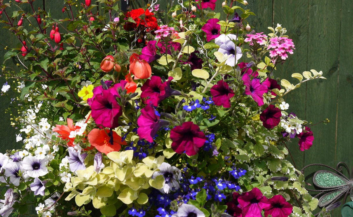 hanging baskets, fuchsia hanging baskets, landscape design, landscaping, landscape gardener, Green Onion Landscaping, Teesside, Stockton, County Durham, Middlesbrough, Darlington, North Yorkshire, colourful garden,
