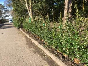 Garden hedging, Pyracantha hedge, hedging plants, hedges, landscaping, landscapers, Green Onion landscaping, Yarm, Egglescliffe, Stockton, Teesside, Security hedges