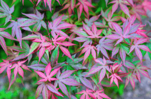 Japanese Acer, Autumn colour, Autumn garden, Green Onion Landscaping, Landscapers, Teesside, Durham, Cleveland, Stockton, Garden design, planting, soft landscaping