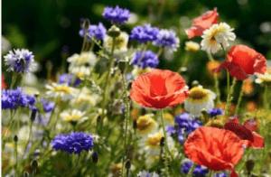 wildflower garden, wildflowers, garden., colourful, landscaping, ideas, stockton, middlesbrough, teesside, Fairfield, Hartburn, yarm, ingleby barwick, Green Onion Landscaping